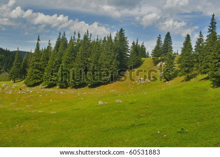 Alpine plateau summer scenery with fir trees - stock photo