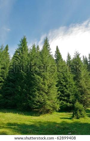 Alpine plateau with fir trees - stock photo