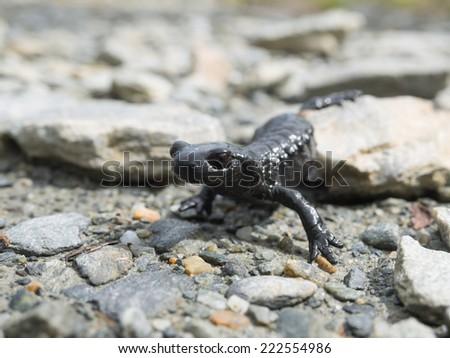 Alpine salamander in the Austrian alps - stock photo