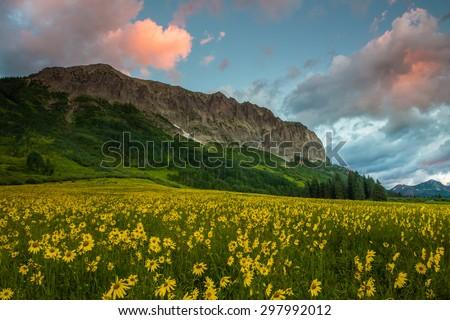 Alpine Sunflowers Arise Below Gothic Mountain at Dawn - stock photo