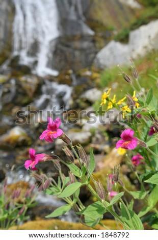 Alpine wildflowers at edge of waterfall. Callaghan Valley. British Columbia. - stock photo