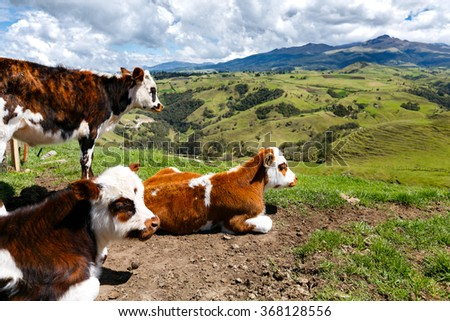 alps cows in the mountains, colombia, latin america - stock photo
