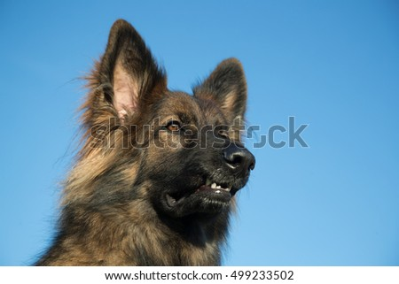 Alsatian dog head against a blue sky, he has long hair and a beautiful face.