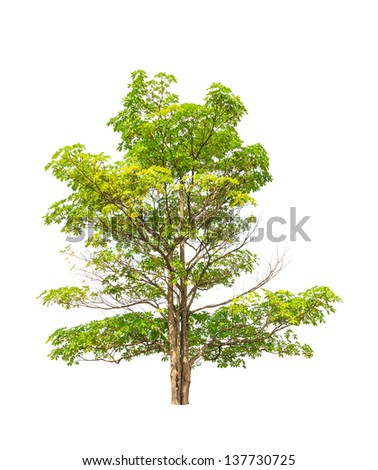 Alstonia scholaris (Apocynaceae), commonly called Blackboard tree, Indian devil tree, Ditabark, Milkwood pine, White cheesewood and Pulai, tropical tree in Thailand isolated on white background