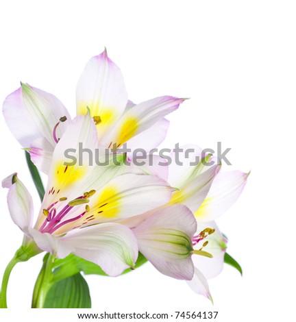 Alstroemeria flowers isolated on white background - stock photo