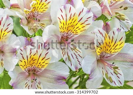 Alstroemeria flowers,lily of the incas, photo art - stock photo