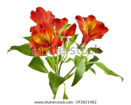Alstroemeria isolated on a white background - stock photo
