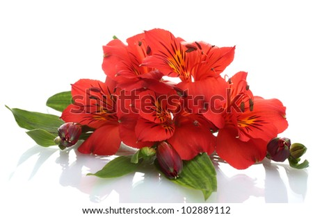 alstroemeria red flowers  isolated on white - stock photo