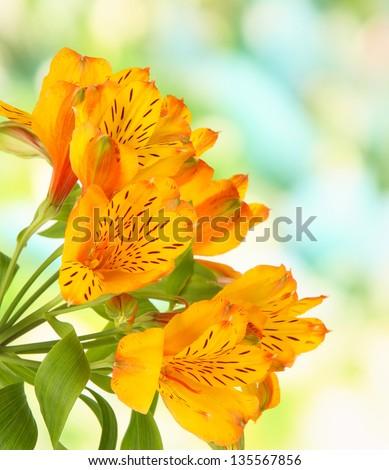 Alstroemerias flowers on bright background - stock photo