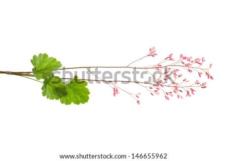 alum root isolated on white background - stock photo