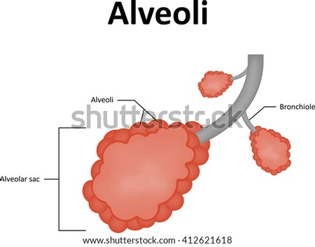 diagram of inside of the lungs alveolus diagram of unlabeled alveoli labelled diagram stock illustration 412621618 ... #14