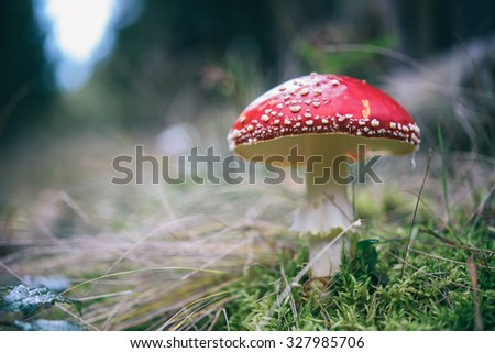 Amanita muscaria; Red mushroom in the forest; Fly agaric macro