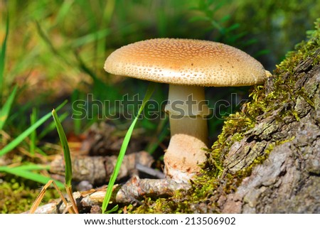 amanita rubescens mushroom   - stock photo