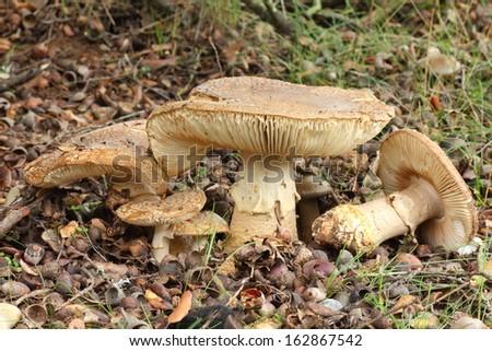 Amanita spissa. Amanita standing thick. - stock photo