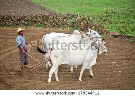 AMARAPURA, MYANMAR - DEC 10, 2013: Plowing rice fields with an ox team. The farmers plows the land ancient method using oxen - stock photo