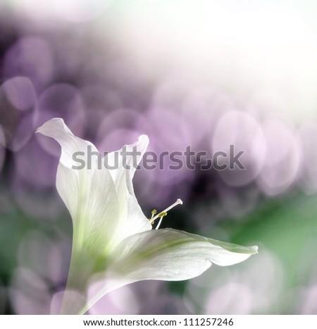 amaryllis flower and sun bokeh - stock photo