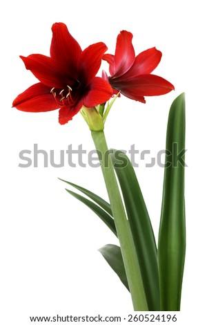 Amaryllis flower, close up of red flower isolated on white background - stock photo