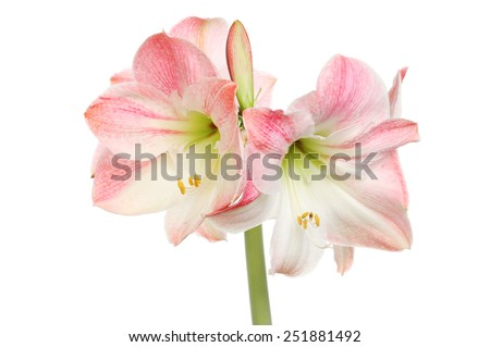 Amaryllis flowers isolated against white - stock photo