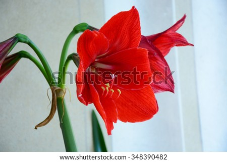 Amaryllis in bloom - stock photo