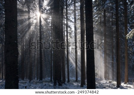 Amazing atmosphere of winter spruce forest with sun rays - stock photo