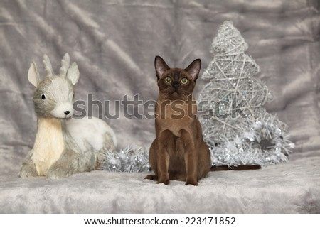 Amazing brown Burmese cat in front of Christmas decorations - stock photo