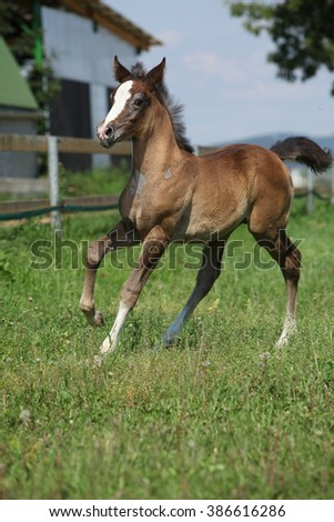 Amazing brown foal moving alone on pasturage - stock photo
