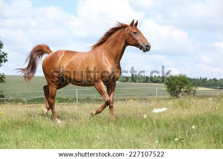 Amazing chestnut Budyonny horse running on meadow - stock photo