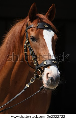 Amazing chestnut Thoroughbred with nice bridle isolated on black background - stock photo