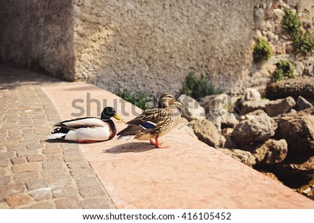 Amazing duck animal on stone under sunlight view. Animal landscape view. Brown duck bird in nature. - stock photo