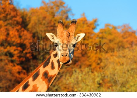 Amazing giraffe looking into camera. - stock photo