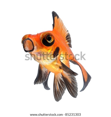 amazing goldfish pet isolated on white background - stock photo