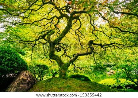 Amazing Green Japanese Maple Tree, Nature Garden - stock photo