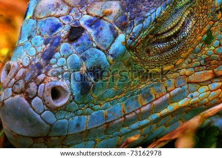 Amazing Iguana specimen displaying a beautiful blue colorization of the scales - 2 - stock photo