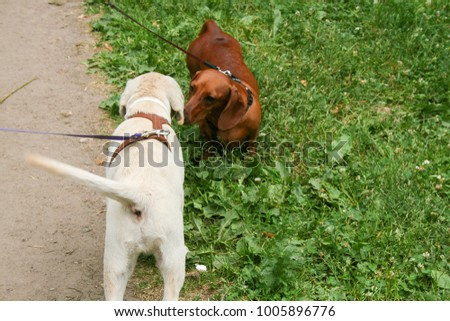 Amazing labrador puppy meets another dog on the walk in the park
