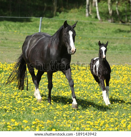 Amazing mare with foal running in spring - stock photo