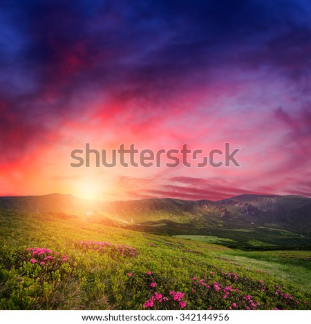 Amazing mountain sunset with rhododendron flowers in green grass. Carpathian landscape in spring season - stock photo