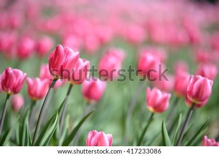 Amazing nature of pink tulips & sunlight garden landscape. Sunny nature. Nature flower & sun. Nature. Garden nature. Green nature. Nature life. Nature Nature view. Great nature. Sunny nature. Nature. - stock photo