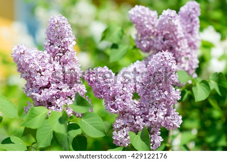 Amazing nature view of bright lilac flowers in garden at spring. Sunny nature. Garden nature flower. Nature. Beautiful nature. Green nature. Nature life. Nature Nature view. Great nature. Sunny nature - stock photo