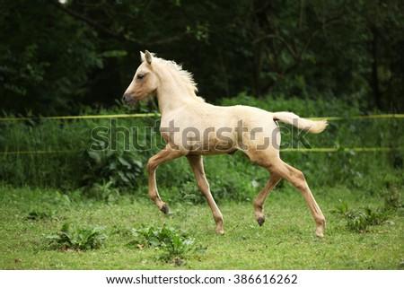 Amazing palomino foal moving alone on pasturage - stock photo