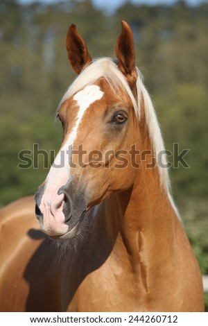 Amazing palomino horse of czech warmlood with blond hair - stock photo