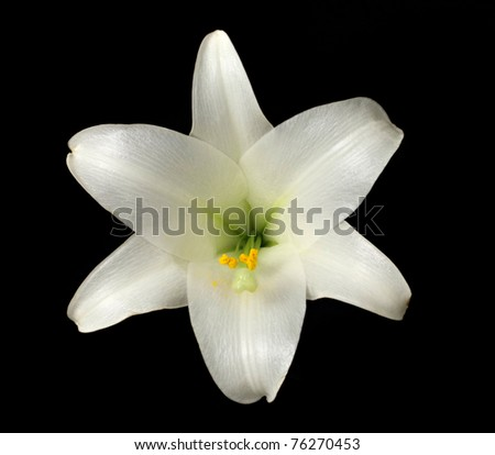 Amazing Photo of Stamen and Pollen In an Easter Lily (lilium longiflorum) Bloom