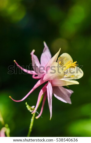 beautiful pink yellow columbine flower close stock photo, Beautiful flower