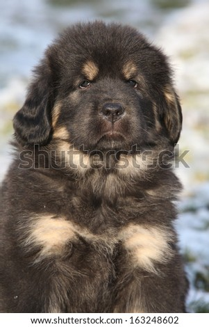 Amazing puppy of Tibetan mastiff looking at you in winter - stock photo