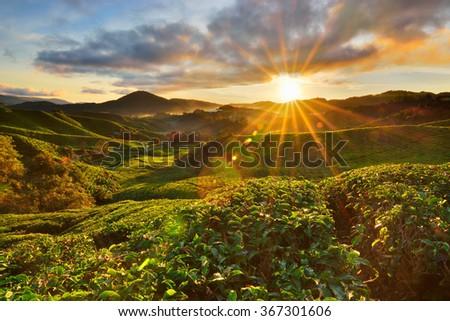 Amazing sunrise view at tea plantation at Cameron Highlands, Malaysia. Some lens flares. - stock photo