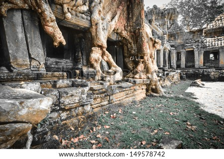 Amazing temple trees in Cambodia, Siem Reap, Angkor Wat.