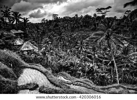 Amazing tropical landscape of rice fields on hills. Indonesia - Bali. Black-white photo. - stock photo