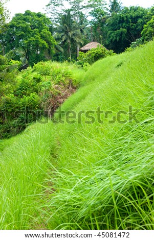 Amazing view of the Rice Terrace field, Ubud, Bali,  Indonesia. - stock photo