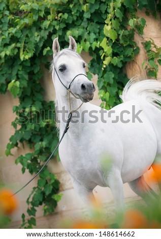 Amazing white arabian stallion. - stock photo