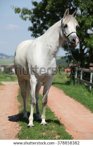 Amazing white shagya arab standing on the path near the stable
