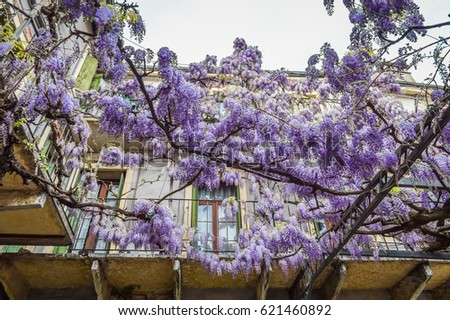 Amazing Wisteria Pergola In The Streets Of Old Walled Town Soave Near Verona